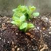 秋じゃがいも(デジマ)の発芽と芽かき