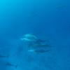 ハワイ島 イルカ・クジラを巡る旅 その1
