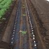 秋ジャガイモ植え付け