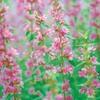 今日の誕生花「ミソハギ」禊(みそぎ)と萩(はぎ)でミソギハギがミソハギの花に!