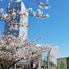 みなとみらいの桜見てきた2019!
