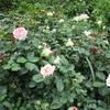 「まつこの庭」はツルバラが盛りです !!