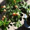 盆栽:コトネアスターの実が赤みを帯びてきたよ