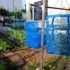 乾燥ワラビ作りが楽しい!