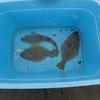 灘浦海岸の某サーフにてヒラメ爆釣(?)