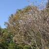 秋に咲くサクラ