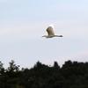 飛翔するコサギ