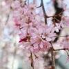 自由が丘と目黒川の桜