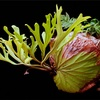 【コウモリラン】「ビカクシダ リドレイ」を水苔玉に着生させて吊るしてみた感想
