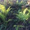 シダ植物の胞子のう