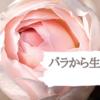 乾燥・敏感肌に!バラから生まれたコスメ【ROSE LABO】