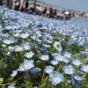 春のお出かけ:ついに憧れの一面青い絨毯