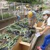 やまびこ:タマネギ収穫