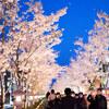 桜並木は中望遠レンズで撮るのが一番いい@鎌倉・段葛