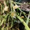 2021 リプサリスの開花