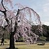 【Cherry blossoms】Koishikawa Korakuen, TOKYO 小石川後楽園 しだれ桜