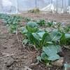 冬に植えた小松菜、ほうれん草の成長状況