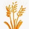 奇跡。もち麦で毎日お通じが2回きている!