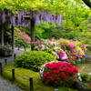 京都・鳥羽 - 満開のツツジと藤の花 城南宮