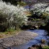 手賀沼遊歩道の花(ユキヤナギ、コブシ、サクラ、ホトケノザ、タンポポなど)とカワセミとクイナとウグイス