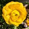 タキイさんのラナンキュラスが開花!