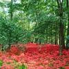 日本でいちばんたくさんの彼岸花『曼珠沙華まつり』 埼玉県日高市の「巾着田 曼珠沙華公園」