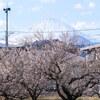 小田原梅まつり〜梅の名所と御殿場線と富士山