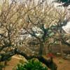 梅は香、桜は散っていく様