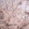 【215話・FUJIFILM】明瞭度−5のクラシックネガで桜を撮って来た