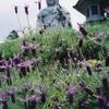 壺坂寺のラベンダー(6月中旬~7月下旬)