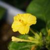 黄色の花をつけたオシロイバナ