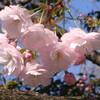 サクラサク2012(その2):八重咲きの桜と目黒川の桜