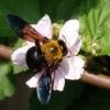 ブラックベリーのクマバチ^^;