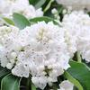 お菓子みたいな花カルミア, latifolia Kalmia,
