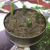 サボテン 種植えてから約七ヶ月半くらいの様子