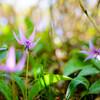 Spring ephemeral 〜カタクリ〜