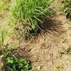 茶草場の復旧作業!