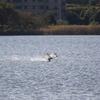 新機種CANON EOS 7D Mark II 試写 白鳥の滑空と着水
