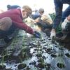 <農業講座日記>玉ネギの苗を定植 初収穫続々(12月3日)