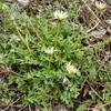 シロバナタンポポ  黄色いタンポポより先に咲く