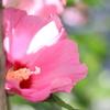 Canonの単焦点レンズ(EF50mm F1.8)が届いたので、夏の花を撮ってみた