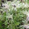 オキナグサの開花