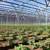 ソーラーシェアリング:匝瑳飯塚の農繁期到来 - 発電設備の下で大豆は順調に生育中