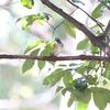 ハイタカ・ルリビタキのちカラスのフン(大阪城野鳥探鳥 20201122 6:10-13:25)