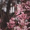 桜を撮りに新宿御苑へ行ってきた!行くなら早めに行くべし。