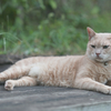 ライオンみたいな佇まいの猫を撮ってみた。