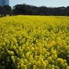 浜離宮恩賜庭園の菜の花は満開。(3月20日)