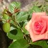 薔薇の挿し木に挑戦