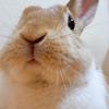 【ミニウサギのサスケ先輩】うさぎのかわいい仕草全開のブラッシング動画を作りました♪