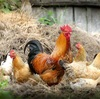 スーパーで売っている卵からヒヨコは産まれる?